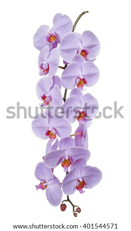 Branch blooming orchids, isolated on white background - stock photo