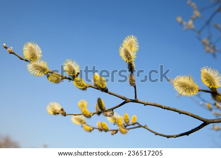 branch blooming willow on the background of blue sky - stock photo