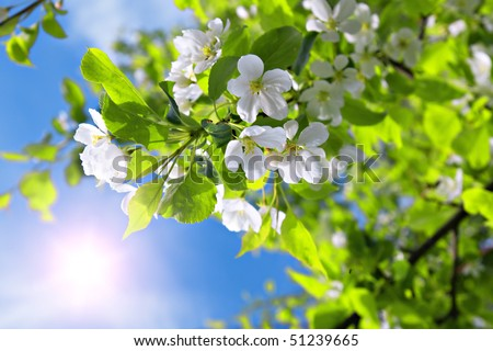 branch blossom apple tree and blue sky with sun - stock photo