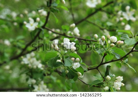 Branch blossoming apple tree. - stock photo