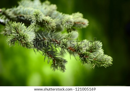 branch blue fir tree - stock photo