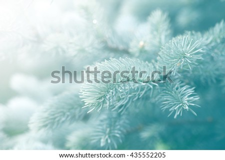 branch blue spruce close up background