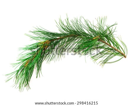 Branch cedar close-up isolated on a white background - stock photo