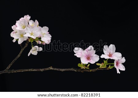 branch cherry blossoms spring flower- black background - stock photo