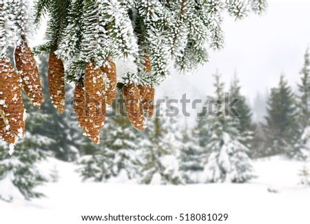 Branch christmas tree and cones spruce in hoarfrost and in snow. Winter forest of fir-tree.