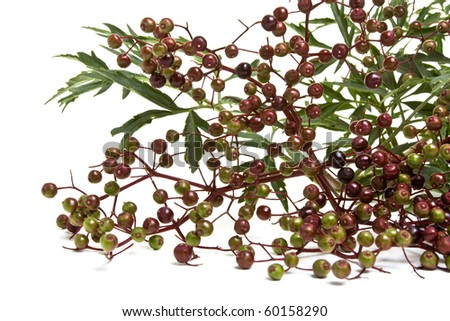 Branch from elder laden with ripe berries isolated on white. - stock photo