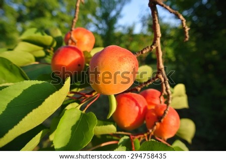 Branch full of ripe orange juicy apricots on a sunny summer afternoon, in an orchard. Concept of organic farming; fresh, natural, healthy, unprocessed fruit. - stock photo