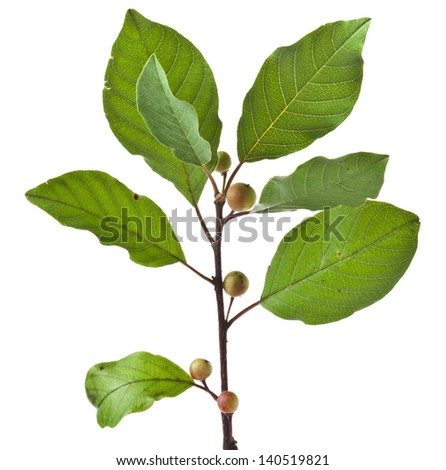 branch green tree isolated on white background - stock photo