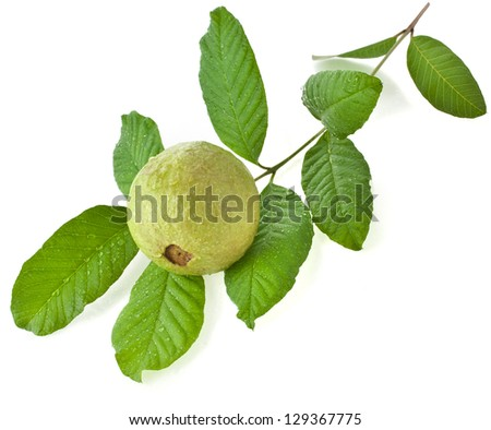 Branch guava fruit tree with water drops isolated on white background - stock photo