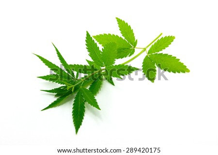 Branch hemp is isolated on a white background