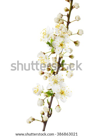 Branch in blossom isolated on white. Cherry plum