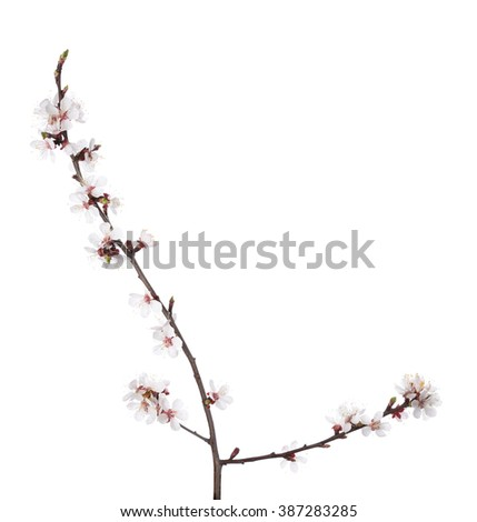 Branch in blossom isolated on white. Cherry plum - stock photo