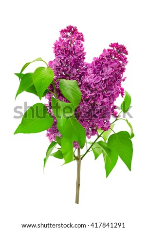 Branch lilac isolated on white background - stock photo