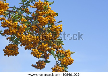 Branch loaded with sea buckthorn berries against blue sky. - stock photo