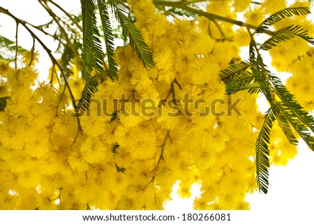 branch mimosa acacia flowers close up macro isolated on white background  - stock photo