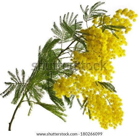 branch mimosa acacia flowers isolated on white background  - stock photo
