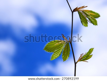 Branch of a beech tree with delicate spring leaves against bright blue cloudy sky - stock photo