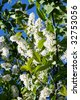 Branch of a blossoming bird cherry - stock photo