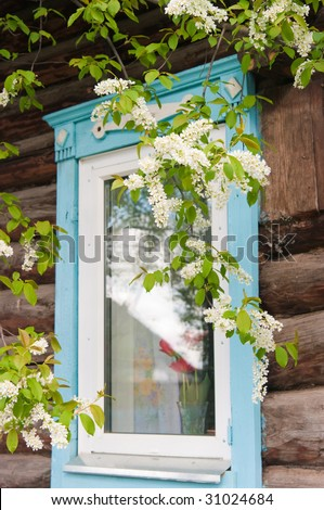 Branch of a blossoming bird cherry against a window with tulips - stock photo
