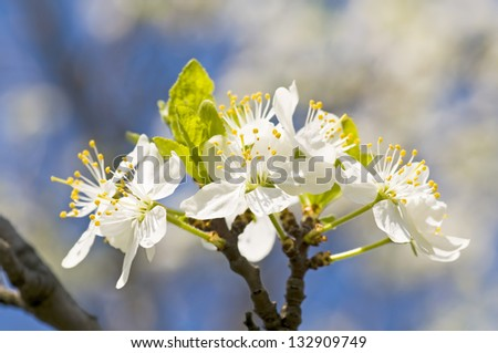 Branch of a blossoming tree with beautiful flowers - stock photo