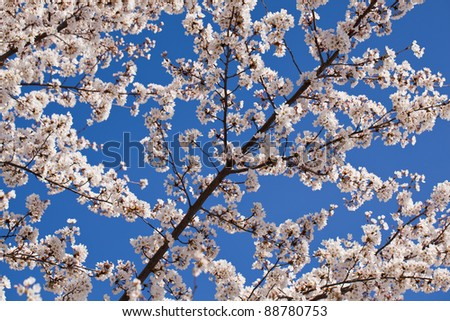 Branch of a cherry blossom tree in full bloom at the Washington DC tidal basin in the spring - stock photo