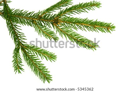 Branch of a Christmas Tree on white background