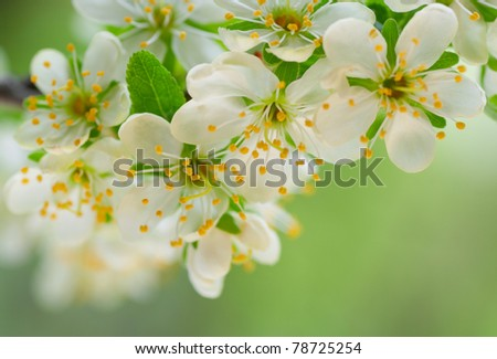 Branch of a flowering plum - stock photo