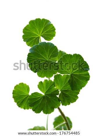 Branch of a geranium on a white background. A close-up.   - stock photo
