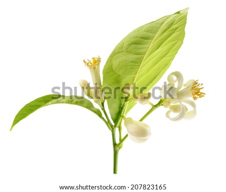 Branch of a lemon tree with flowers Isolated on a white background  - stock photo