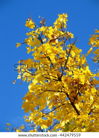 branch of a maple tree with bright yellow leaves and blue sky - stock photo