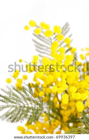 branch of a mimosa on a white background - stock photo