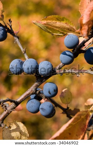 Branch of a sloe with berries in the autumn. - stock photo
