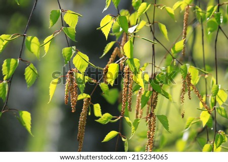 Branch of a spring birch tree in in the sunlight - stock photo