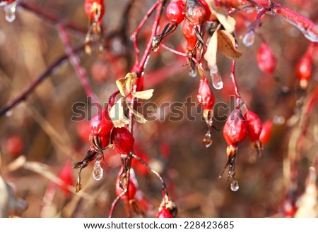 Branch of a tree with withered rose hips and frozen drops of water after freezing rain, autumn background, selective focus  - stock photo