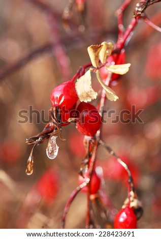 Branch of a tree with withered rose hips and frozen drops of water after freezing rain, autumn background, selective focus on drop - stock photo
