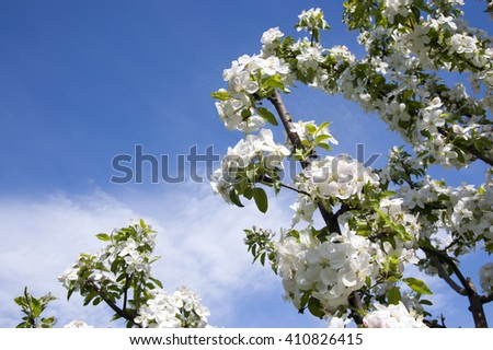 branch of apple blossoms in spring on a blue sky background - stock photo