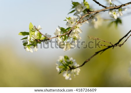 Branch of apple tree flowering at middle of spring with blurred background. Spring flowers. Spring scene. Spring view Spring grass. Spring. Sunny spring. Spring scenery. Spring. Spring image. Spring - stock photo