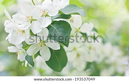 branch of apple tree. white flower. - stock photo
