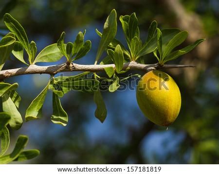 Branch of argan tree in Morocco - stock photo