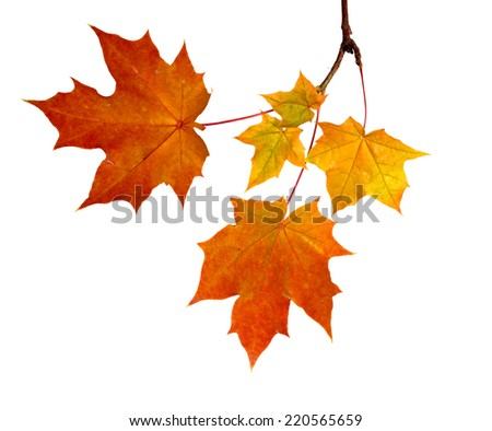 Branch of autumn leaves  isolated on white background - stock photo