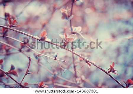 branch of barberry close-up in the spring park. Small shallow DOF. - stock photo