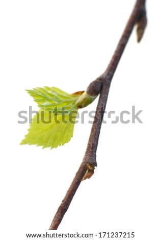 Branch of birch isolated on white, very shallow depth of field - stock photo