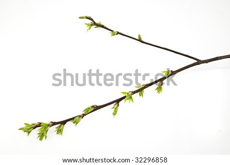 Branch of bird cherry tree with spring buds