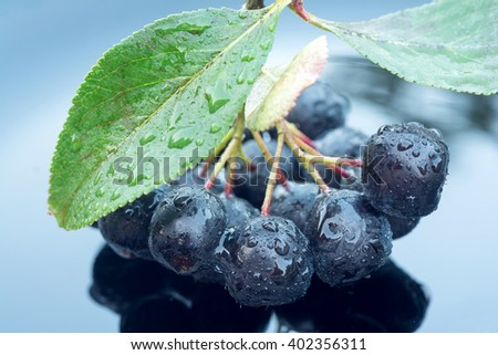 Branch of black chokeberry (aronia) in raindrops on black background - stock photo
