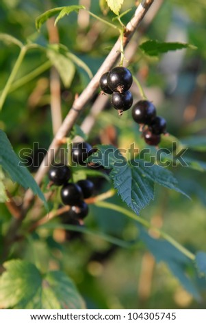 Branch of black currant on bush - stock photo