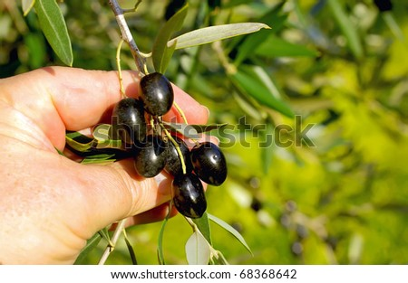 Branch of black olives in hands. - stock photo