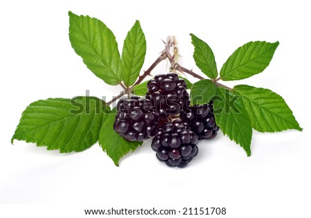 Branch of Blackberry with leaf - stock photo