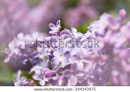 Branch of blooming lilac flowers  in the spring. Floral background - stock photo