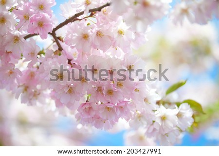 Branch of blooming pink Cherry blossom against blue sky - Sakura  - stock photo