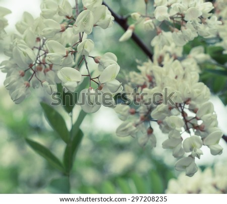 Branch of blooming white acacia close up - stock photo